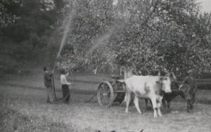 Opryski przy pomocy zaprzęgu krowiego