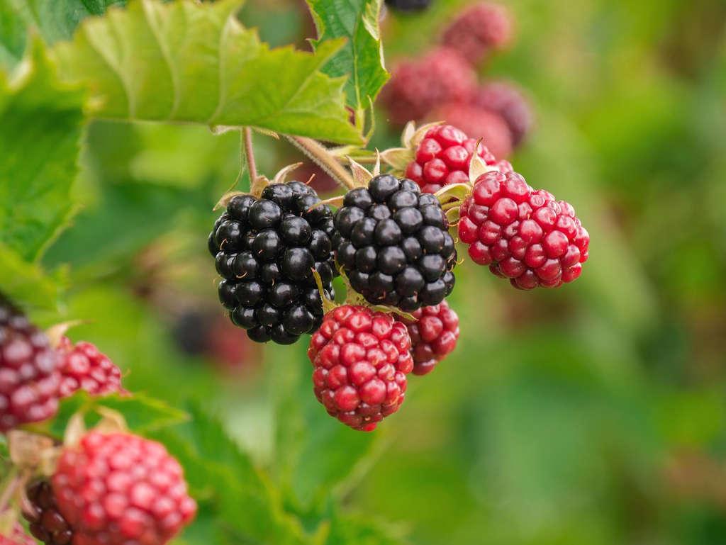 Owoce jeżyny w różnym stadium dojrzałości na zamazanym zielonym tle roślin
