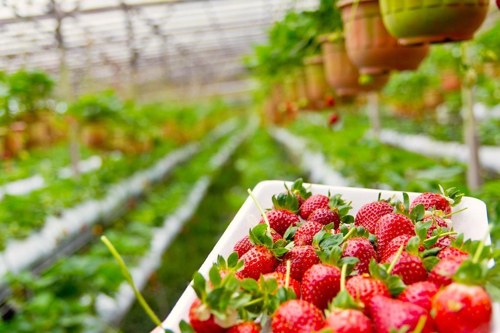 Soczyste owoce różnych odmian truskawek na tle uprawianych odmian truskawek w szklarni; Truskawka Elsanta