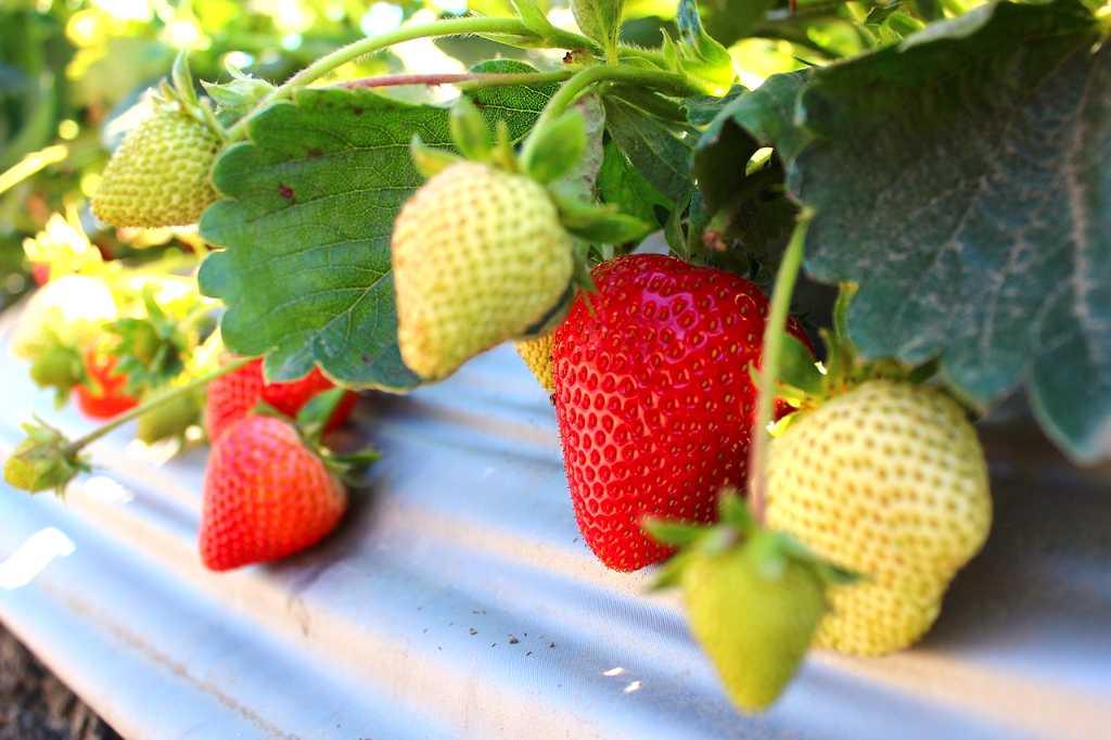 Owocujące sadzonki odmiany truskawek w różnym stadium dojrzałości