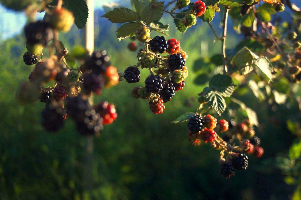 zwisające owoce jeżyny z krzewów rozpiętych w szpalerze.