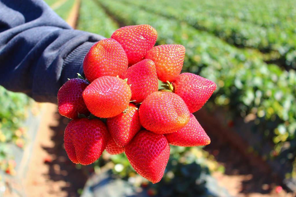 Odmiana Grandarosa. Bukiet wykonany w polu z owoców truskawki