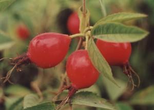 Róża jabłkowata Karpatia - wybarwione owoce.